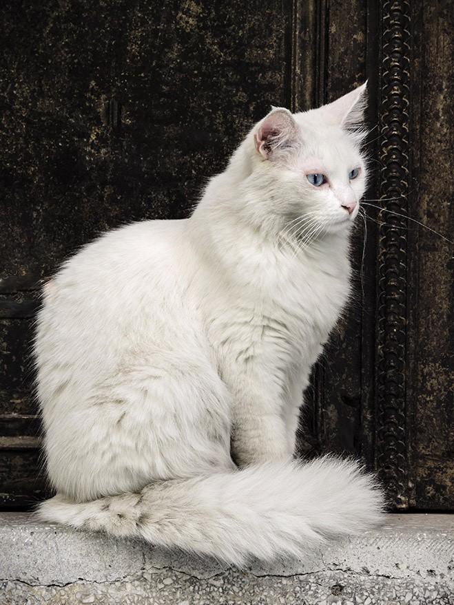 bestcats06 10 самых правильных пород кошек