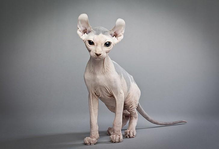bestcats07 10 самых правильных пород кошек