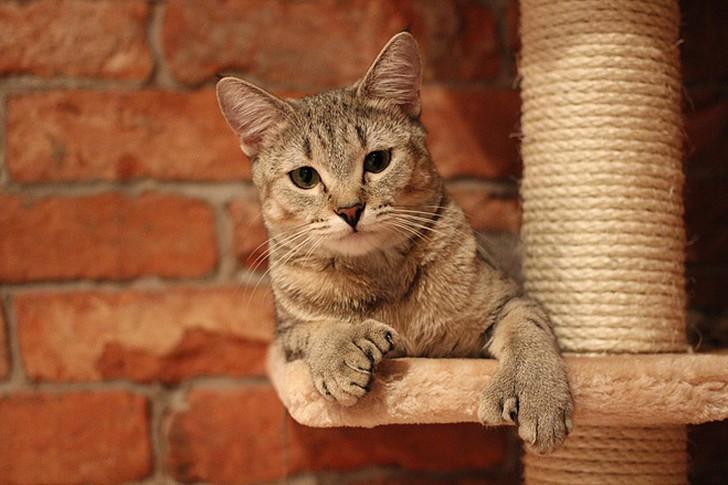 bestcats08 10 самых правильных пород кошек