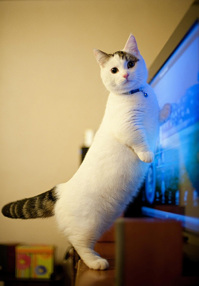 bestcats09 10 самых правильных пород кошек