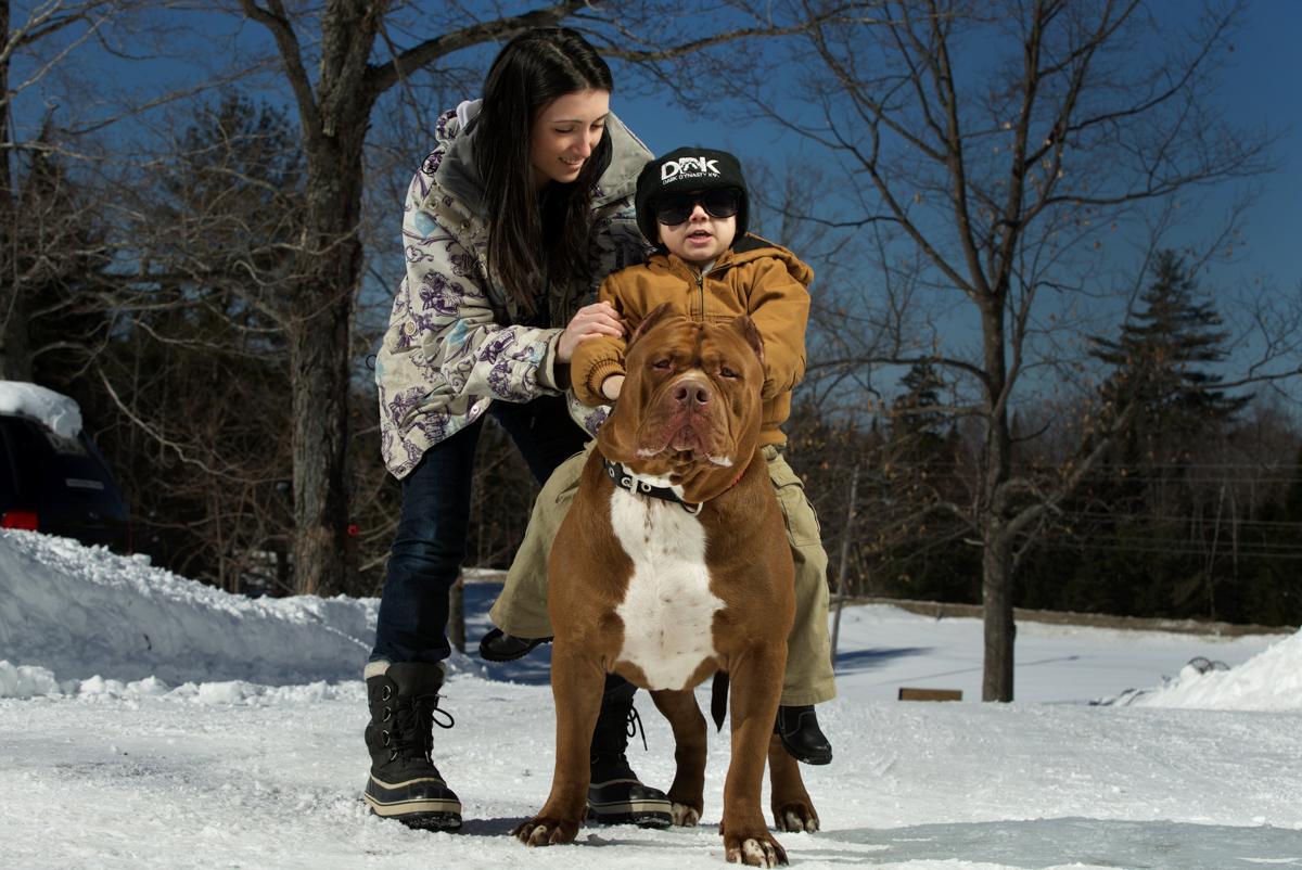 pitbull 01 Халк зубами щёлк: крупнейший питбуль в мире