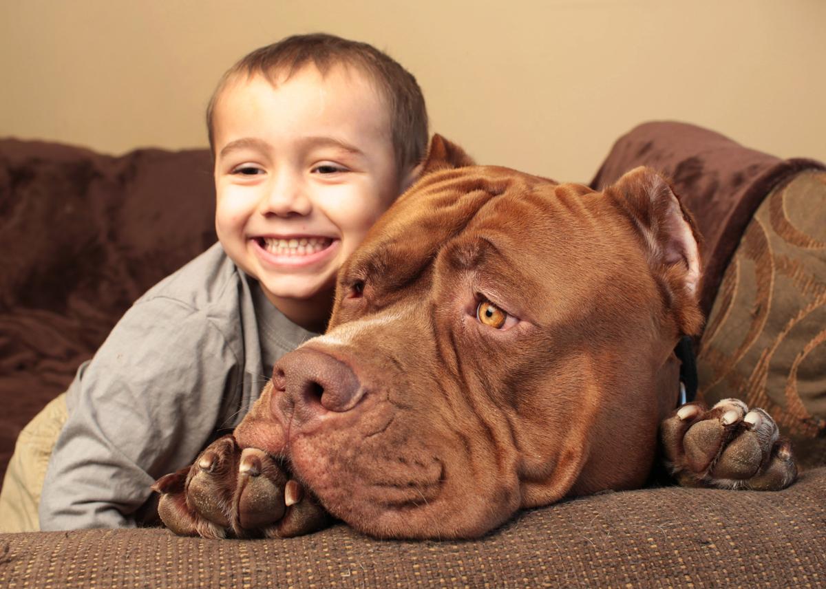 pitbull 12 Халк зубами щёлк: крупнейший питбуль в мире