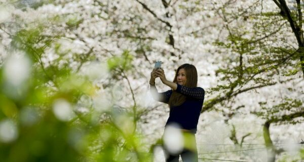 Ханами — японская традиция любования цветущей сакурой