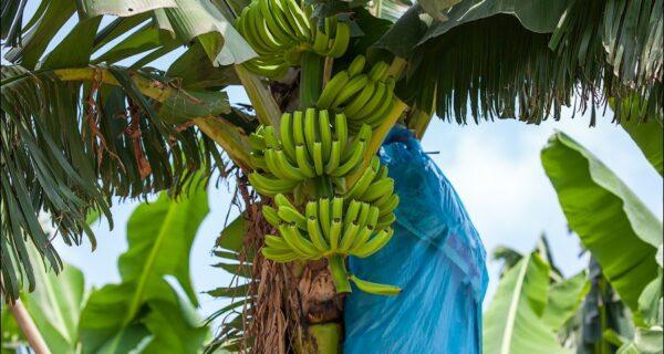 Банановая плантация вКитае
