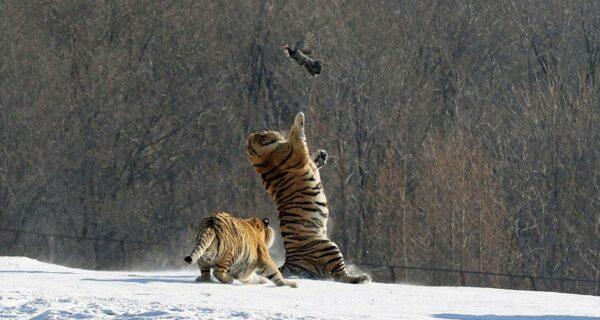 Эпичное падение тигра в результате неудачной попытки поймать птицу