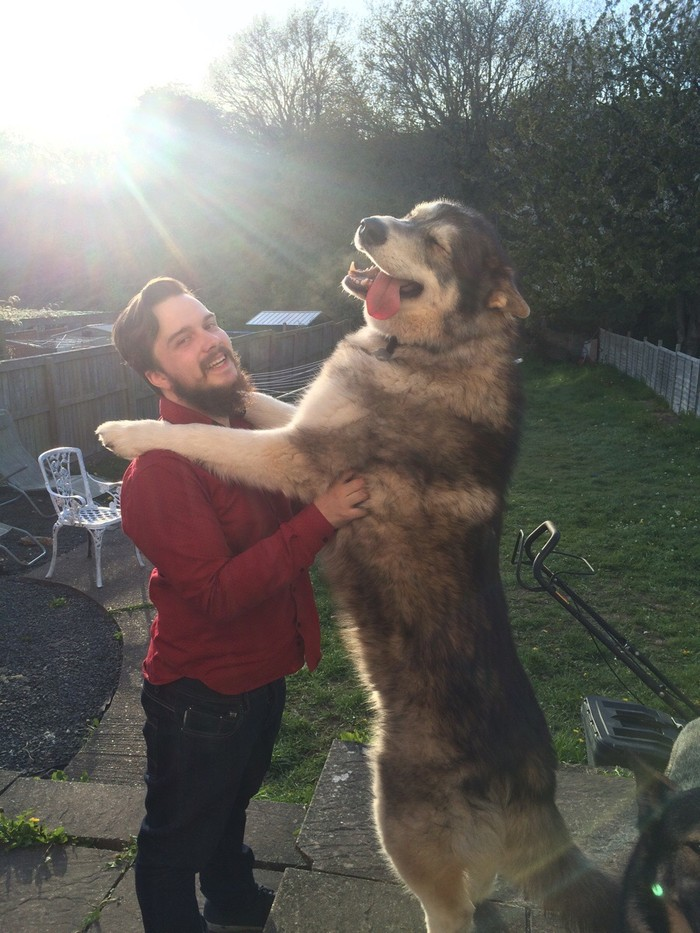 20 big dogs that have no idea how huge
