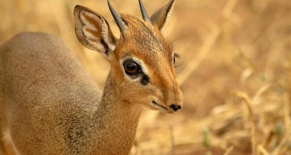 Кения: дикдик — самая маленькая антилопа насвете