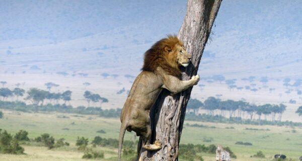 Посрамленный царь зверей