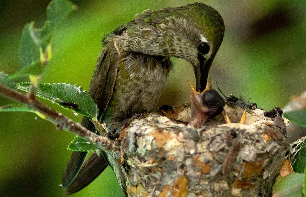 Newborn hummingbird