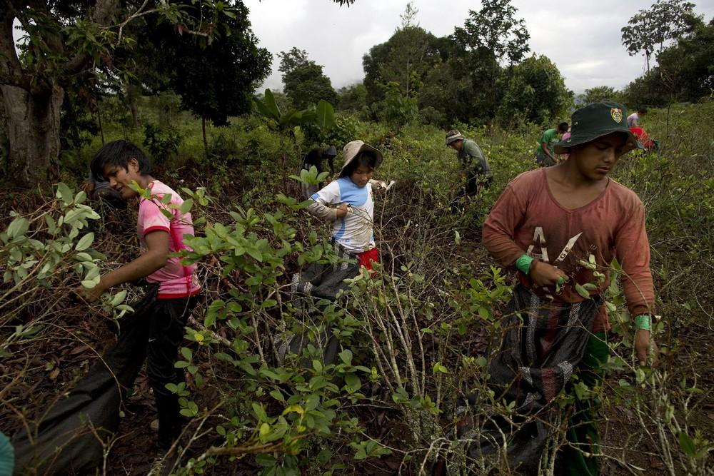Как в Перу выращивают и собирают коку
