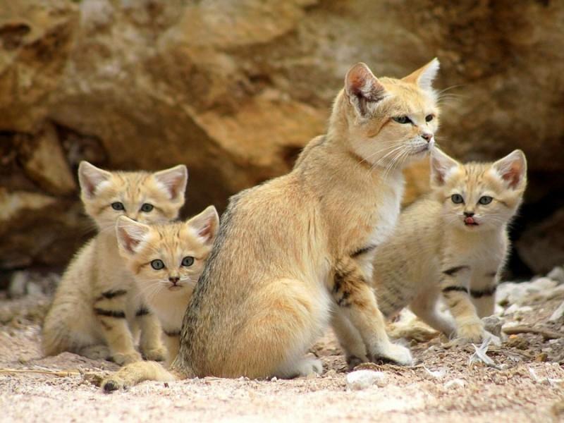 Даже когда взрослеют, эти кошки выглядят как котята. И их котята тоже выглядят как котята