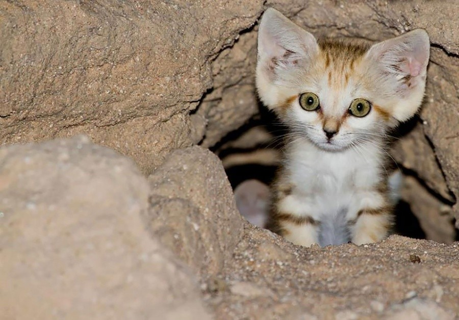 Even when Mature, these cats look like kittens. And their kittens, too, look like kittens