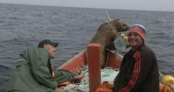 Морской котик заставил сахалинских рыбаков восемь часов катать его влодке
