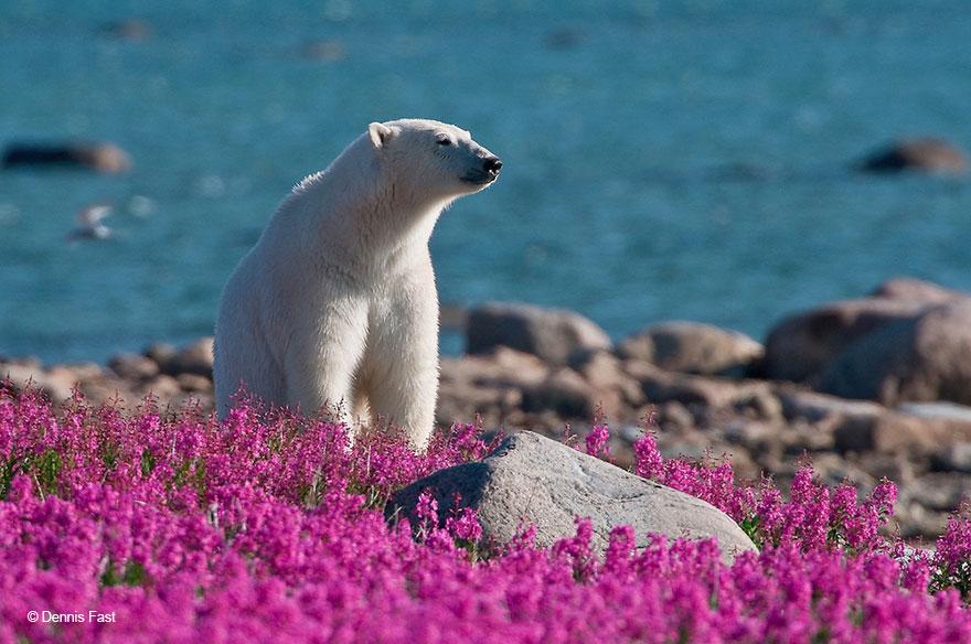 Белые медведи не в снегу, но в цветах: такого вы еще не видели