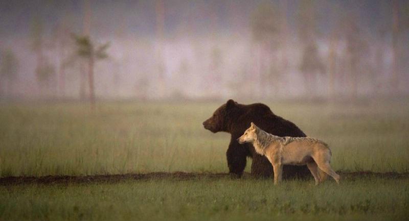 WolfAndBear01-800x500