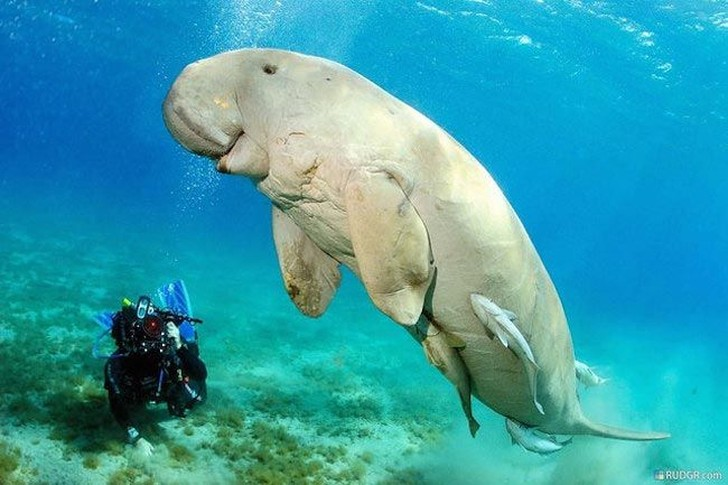 manatee population has dwindled due to excessive hunting