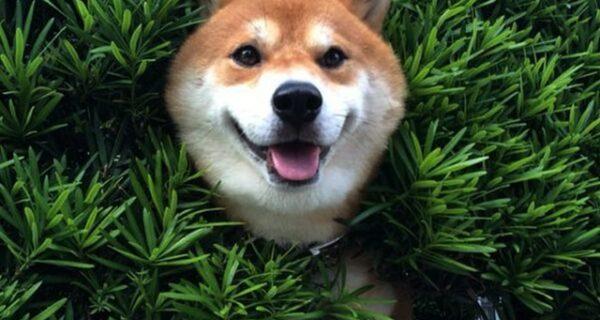 Пес породы сиба-ину застрял в кустах, но сделал вид, что все в порядке