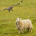 «Проваливай!»: большой поморник защищает птенцов отовцы