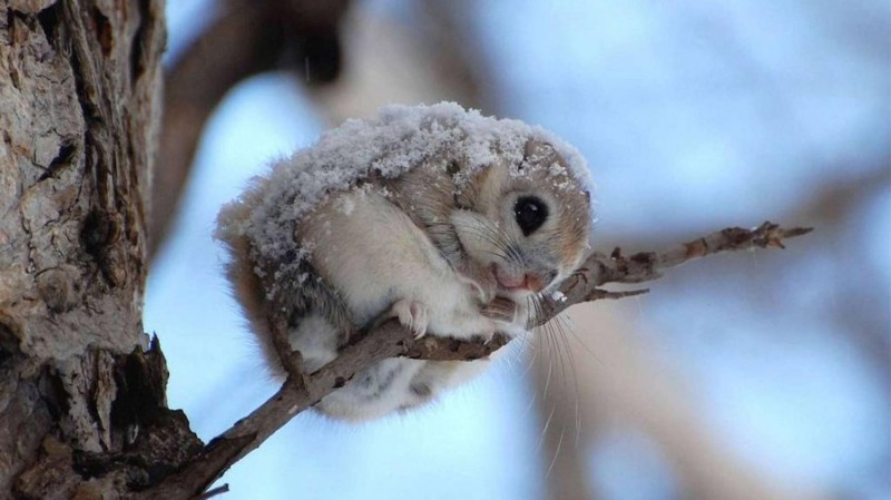 Белка-летяга необычный летающий зверк
