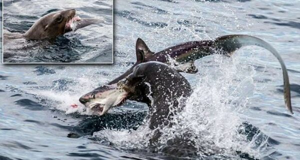 Хищница превратилась в добычу! Голодный морской лев пообедал акулой