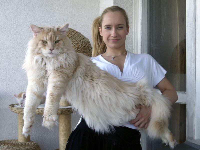 16 мейн-кунов, в сравнении с которыми ваш котик будет смотреться крошечным фото