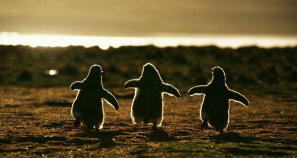 Пингвины — это ласточки, которые ели послешести