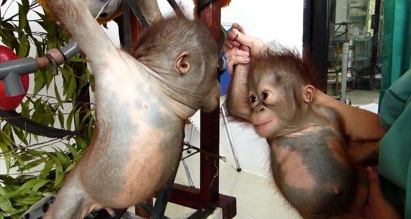 Чудом выживший малыш орангутан впервые встретил себе подобного и… зацеловал его!