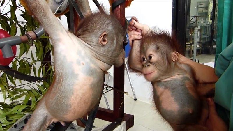 Orangutans01