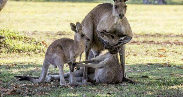 Пожалуйста, не умирай, мама! Душераздирающая сцена с семейством кенгуру