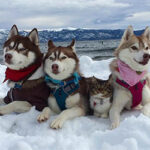 Мяугли: как собака хаски воспитала котенка