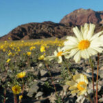 В Долине Смерти проснулась жизнь: пустыня покрылась яркими цветами