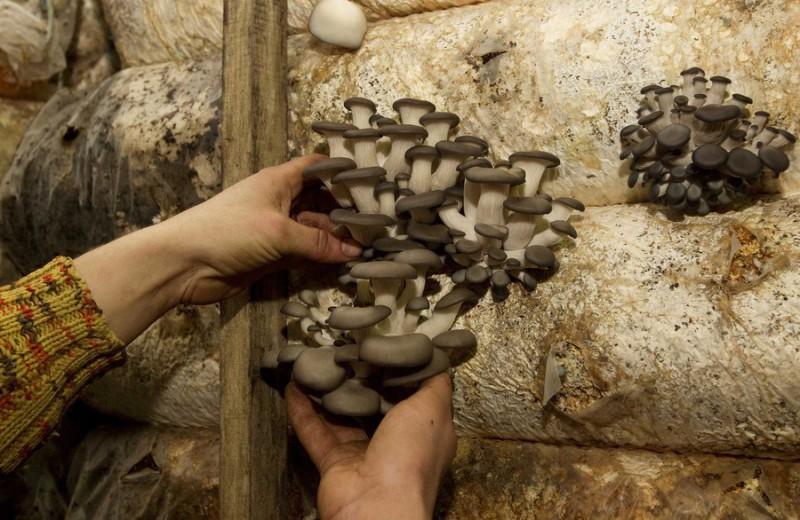 Специалисты уверяют, что в ангарах, где выращивают грибы, радиационный фон сейчас даже ниже, чем в близлежащих населенных пунктах. Компания «Экогрибы» организовала полный цикл производства — от подготовки грунта до выращивания мицелия. В бывшем командном бункере оборудована лаборатория.