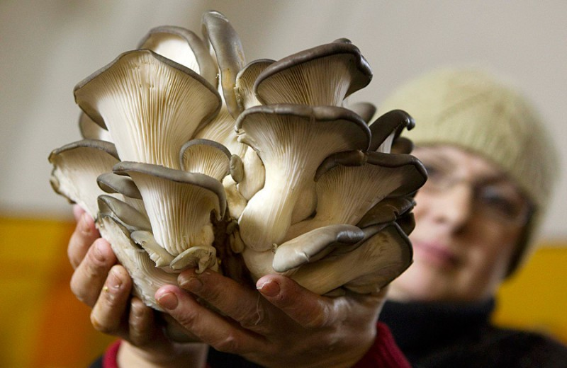 Хозяйство ежемесячно поставляет в торговые сети Белоруссии и соседних стран 10 тонн грибов. Стоят они 23 тысячи белорусских рублей (2,7 доллара) за килограмм. Урожай здесь собирают практически каждый день.