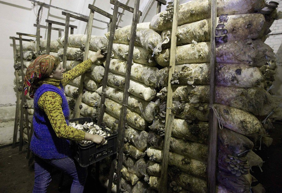 Выращивание вешенки грибов как бизнес 70