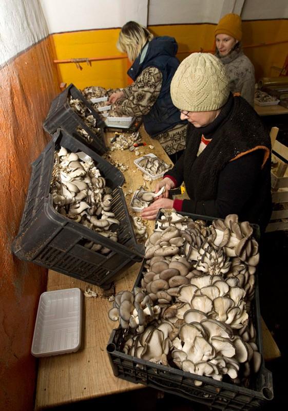 Рабочая упаковывает грибы.