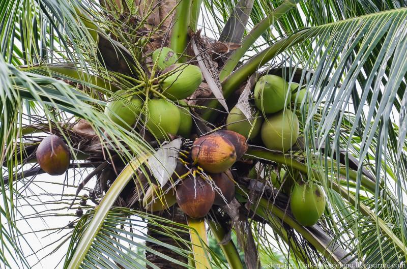 Теперь и вы знаете, как делают кокосовое молоко.А кокосы тут растут почти на каждом шагу, Попить свежего сока/воды из кокоса стоит всего 50 бат (около 100р.), но он мне не понравился, слишком приторный.