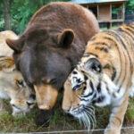 Лев, тигр и медведь — вместе уже 15лет