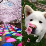 Волшебные фотографии цветущей сакуры от National Geographic