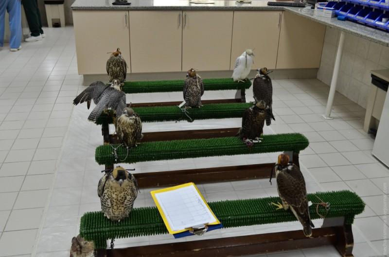 Соколиная больница в городе Абу Даби была основана в 1999 году обществом по защите окружающей среды ОАЭ и стала первой публичной больницей для птиц в Эмиратах.
