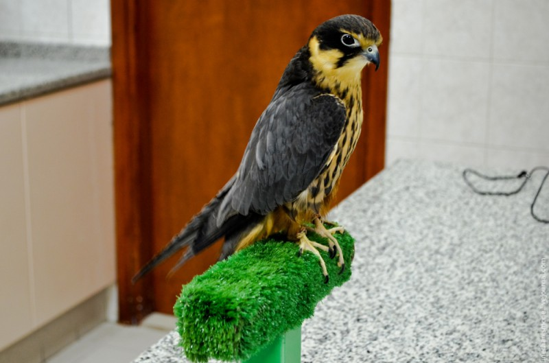 В среднем больница принимает в год около 7 000 птиц для осмотра, лечения, операций, и временного размещения (в больнице есть гостиница для птиц).