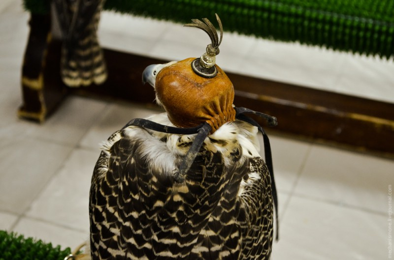 Большинство птиц одеты в шлемы имеют на голове шапочки, которые называются клобучок. Одевают его по нескольким причинам, во-первых, чтобы птица не бросалась на потенциальную добычу, в больнице помимо птиц есть кошки, и другие мелкие домашние животные.