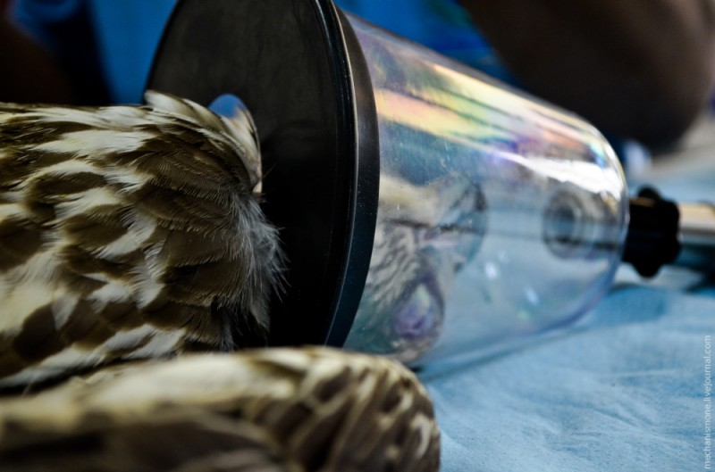 Первым делом птицу усыпляют, чтобы с ней можно было спокойно работать. Для этого на голову надевают вот такой скафандр. Кстати, я был слегка удивлен спокойствием птицы действиям человека, они абсолютно податливы и не сопротивляются.