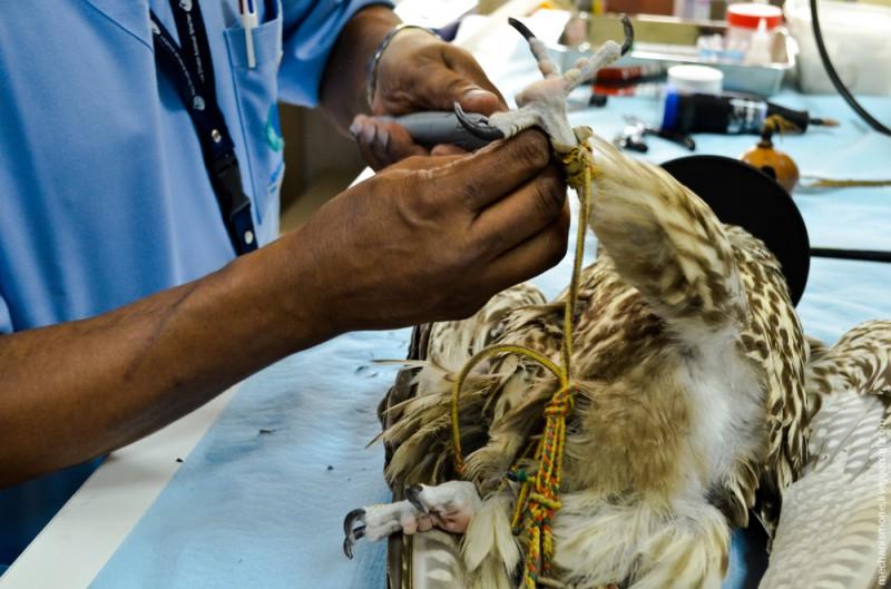 Поэтому время от времени когти нужно слегка подрезать. Делают это самым обычным острым ножом. В когтях у птицы есть кровеносные сосуды, поэтому срезать их слишком сильно нельзя, подрезают только кончики.
