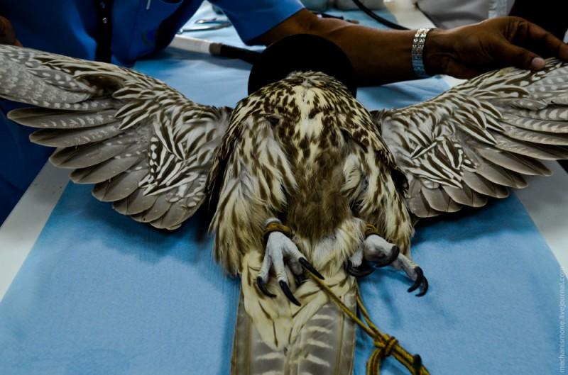 Затем осматривают перьевой покров птицы на наличие потерянных или поврежденных перьев. Если такие перья найдены, они нуждаются в замене.