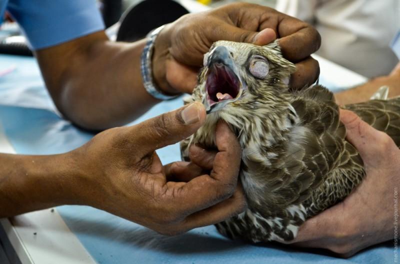 Ну и завершает медицинский осмотр чистка клюва, его так же подрезают как и когти, по тем же причинам, после чего птице чистят глазки и ушки от налета пыли, которой в пустыне в избытке.