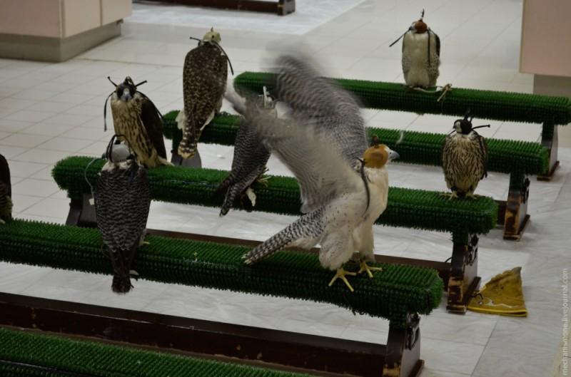 Если птицу посадить сразу в приемные покои, она ведет себя весьма шумно и дебоширит.
