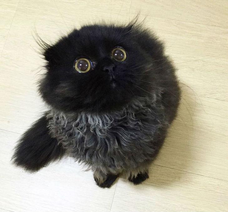 big-cute-eyes-cat-black-scottish-fold-gimo-1room1cat-122