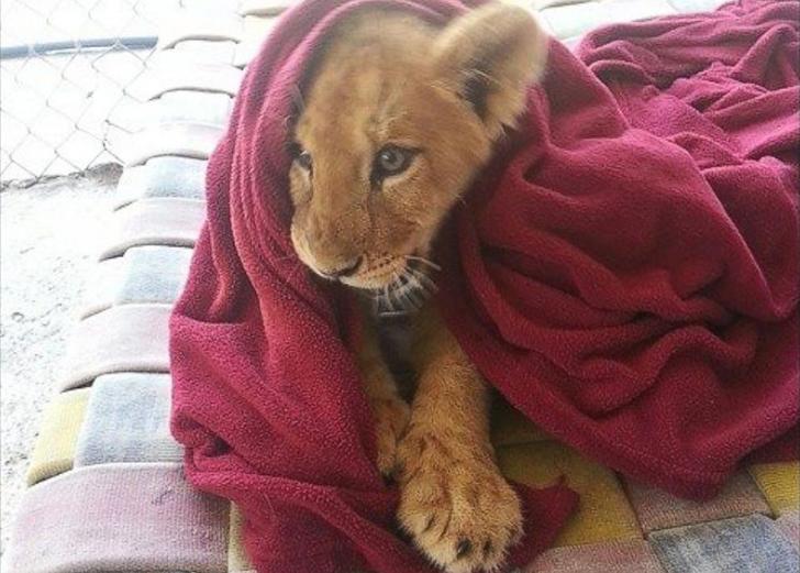 big_lion