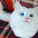 Самый красивый кот интернета с разноцветными глазами