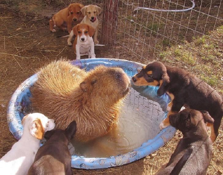 Capybara04